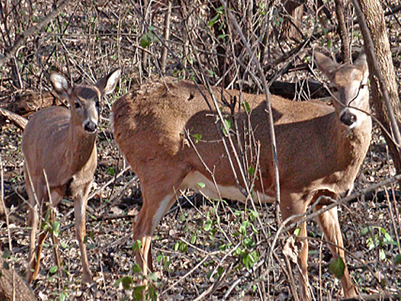Doe and her fawn in the fall (photographed Oct 2011)