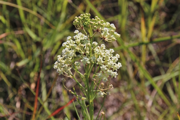 The small, delicate Whorled Milkweed is often overshadowed by taller plants.  Like all milkweeds, its leaves contain glycoside poisons, but the nectar in the flowers is attractive to bees and butterflies.