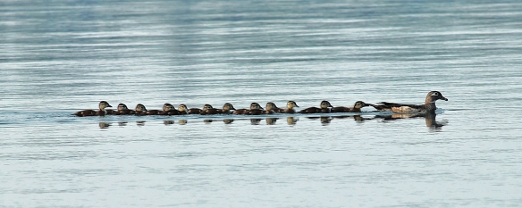 13 little ones followed their mother in tight formation.  Keeping close together turns out to be very important.