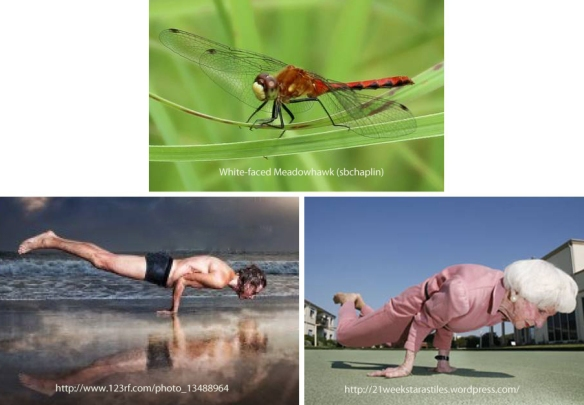 Dragonflies typically perch  horizontally supported by their six! legs.  Humans can do it supported by just two (or even one!) arm.  Heck, even granny can do it.