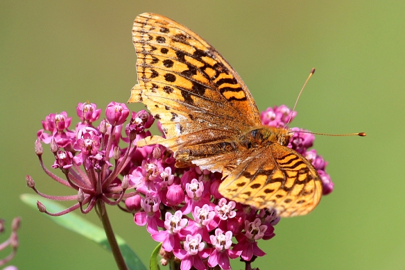 This Aphrodite Fritillary looks like it might have been grabbed by birds or dragonflies more than once.