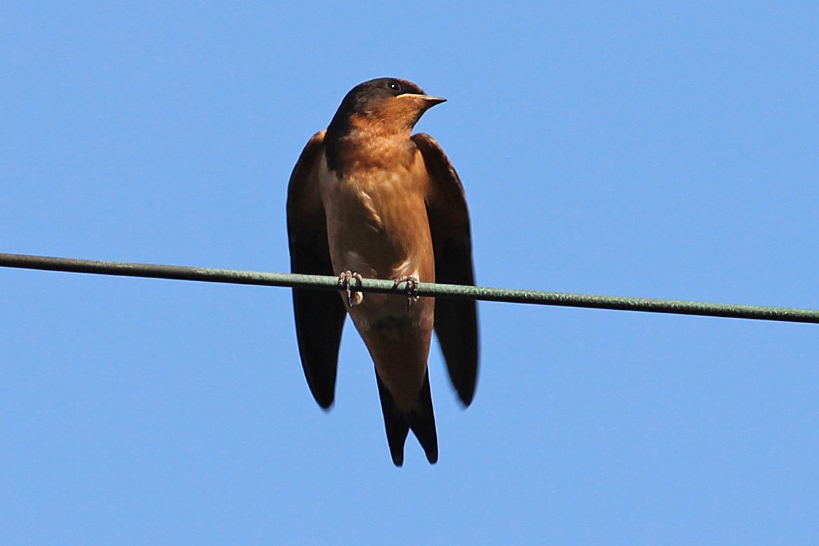 juvenile swallows | Back Yard Biology