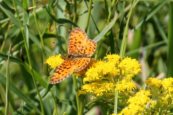 A Bog Fritillary on an early blooming Goldenrod