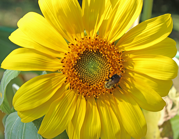 bumblebee-on-sunflower
