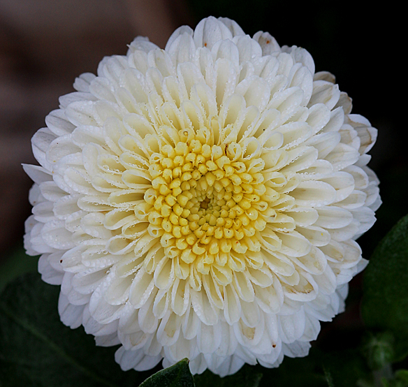 Chrysanthemum petals emerge in a spiral pattern, which reduces the overlap of petals in adjacent layers.