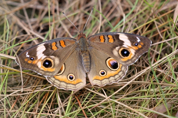 This Common Buckeye (Junonia coenia) sat in the middle of the trail until I practically walked on it.