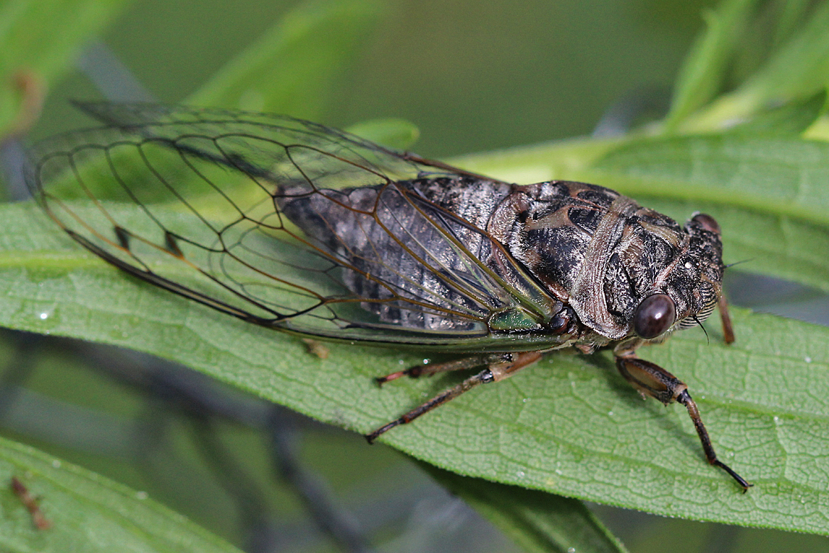 cicada - photo #15