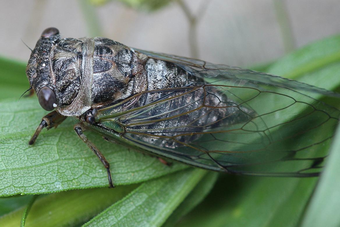 cicada - photo #26