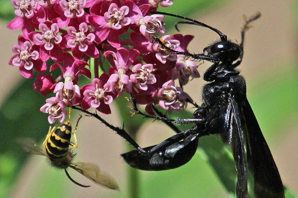 You can see yellow pollina attached to the legs of the Great Black Wasp.  A Yellow Jacket