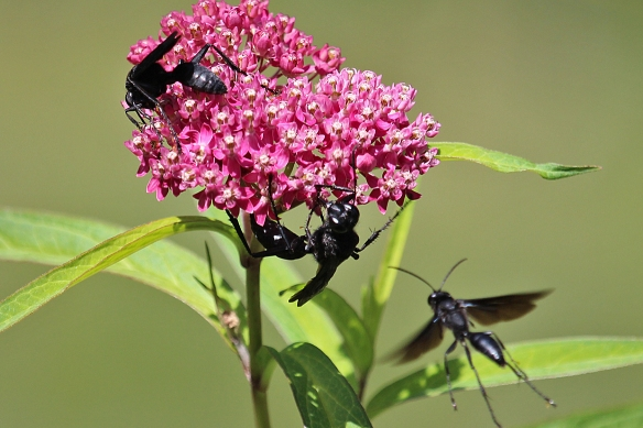 Each flower head seems to be covered with three or four Great Black Wasps, some of which are enormous 2-inch individuals.  Fearsome looking!