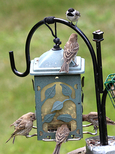 No room for Mr Chickadee at this feeder.