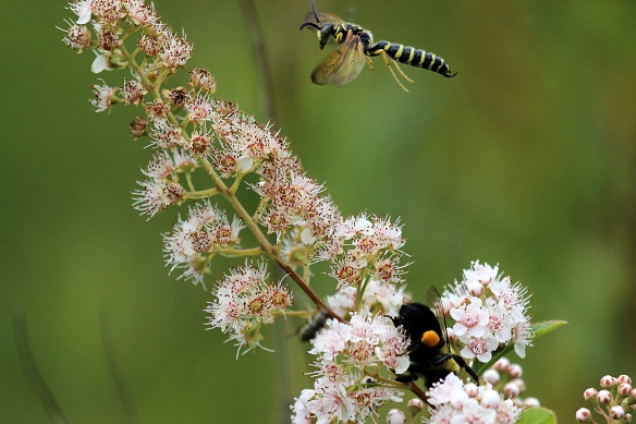 Meadowsweet (Spiraea alba) with bumblebee and yellow jacket pollinators.