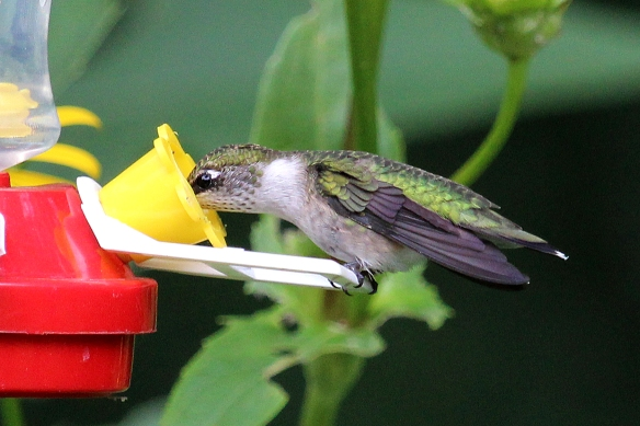 Of course the fall-back is to tank up on the sugar water in the feeder.