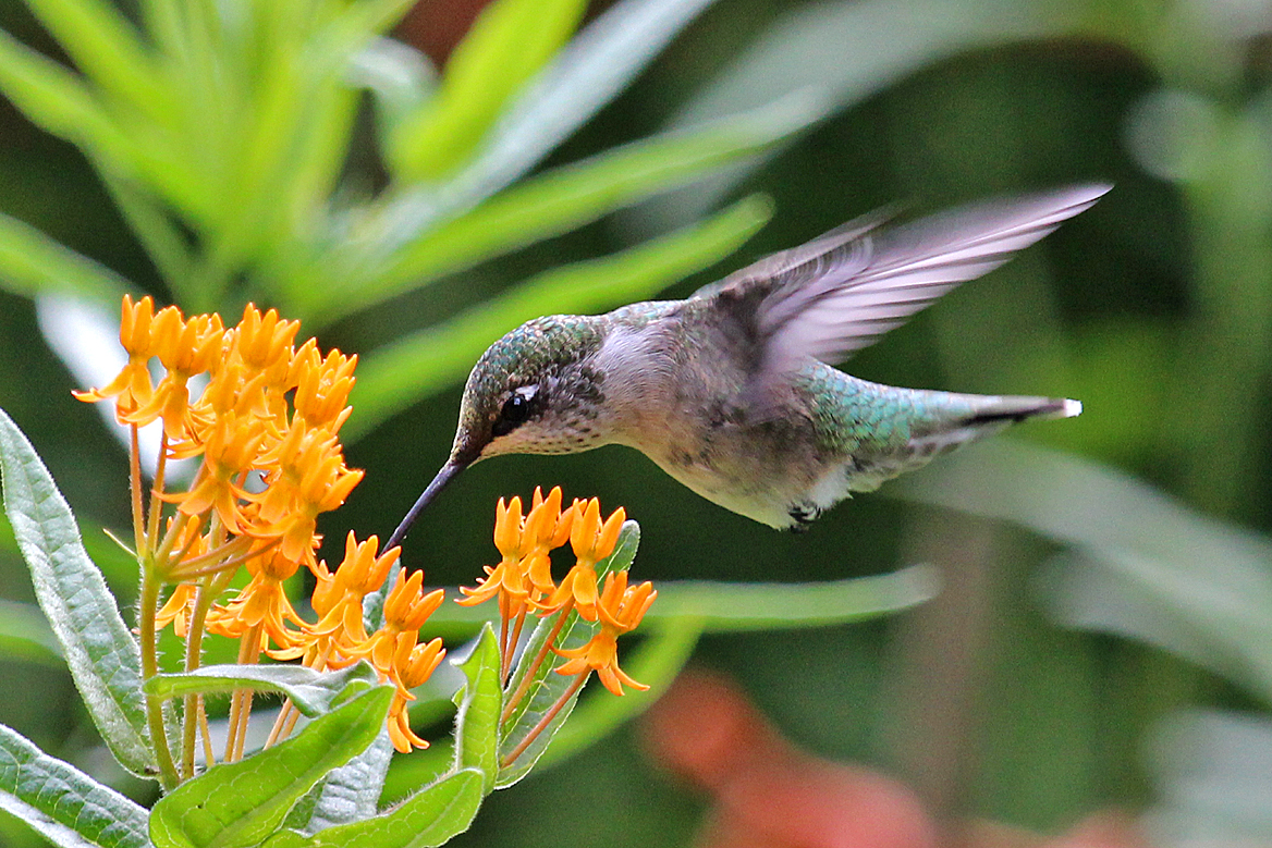 Butterfly Weed Attracts Hummingbirds | Amazing Flowers That Attract Hummingbirds To Keep In Your Homestead
