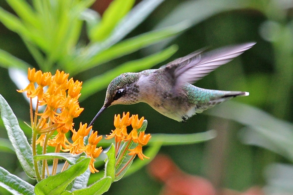 It's hard to believe that these Butterflyweed flowers have enough nectar in them to make them worthwhile to a hummingbird, but the bird keeps coming back for more.