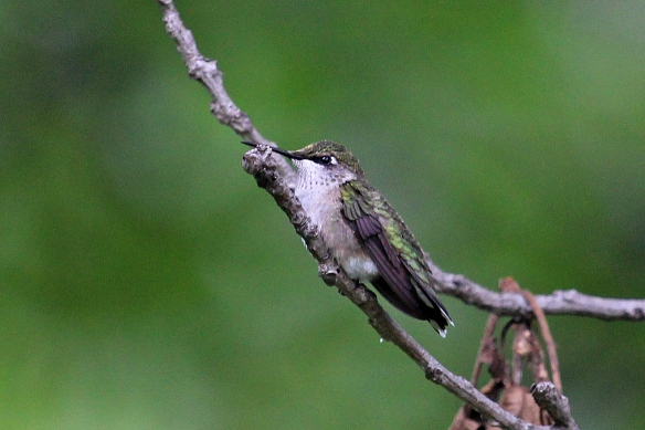 You don't often see hummingbirds perch, but if they are, chances are there will be some voiding of excess liquid occurring.  Best not to stand under the tree where they perch.