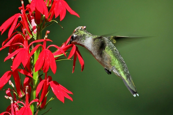 It looks like the hummingbird is getting a pat on the head from the flower.  In this case, the bird is indeed performing a vital service for the plant -- moving pollen from one flower to another.