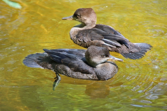 Two young mergansers survived to feed another day