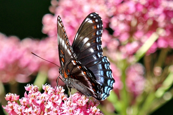 But also some of the iridescent blue color, especially on the hind wing.