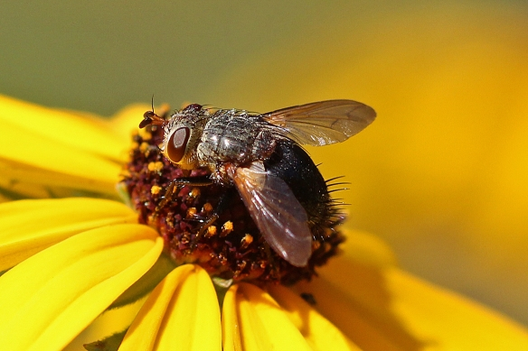 This shot provides a better idea of the fly's size relative to the central disc of a Black-eyed Susan flower.