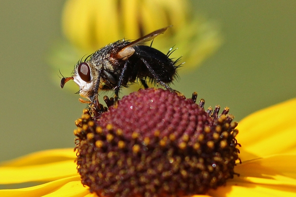 A easily recognized fly, with its white scoop face, stubby antennae, red eyes, and bristly black butt.