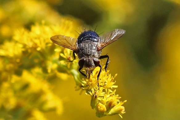 In contrast, when foraging on the Canada Goldenrod, the fly moved randomly, rarely spending more than a few seconds on any one frond.  Several species of bees were much more systematic in their search.  The difference could have something to do with proboscis or tongue length perhaps.