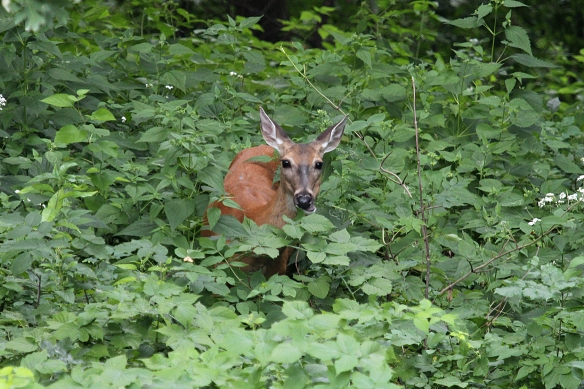 Standing transfixed by all the greenery around her, this doe stood in the middle of this wild raspberry patch without moving for about 5 minutes.  Penny for your thoughts?