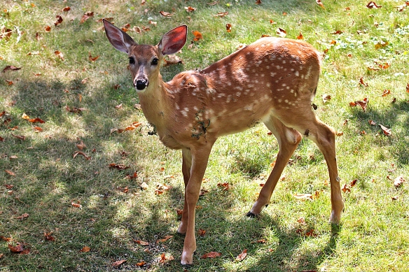 white tailed deer fawn - 3 months