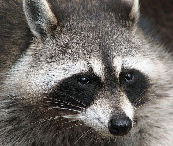 From:  http://en.wikipedia.org/wiki/File:Raccoon_(Procyon_lotor)_2.jpg