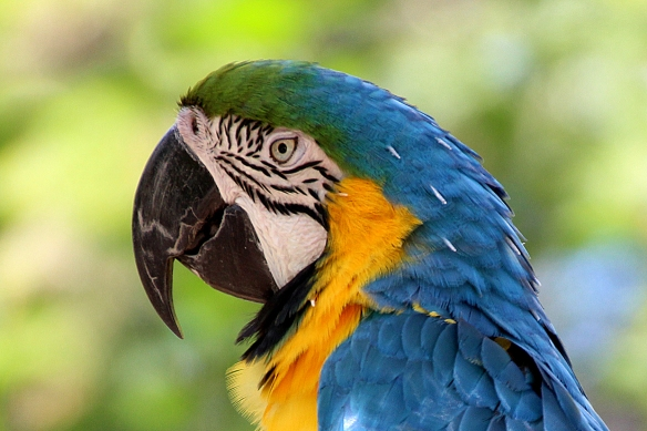 Abrupt changes in feather anatomy where some feathers deposit pigment and others have small air spaces with highly reflective particles in them create the color patterns in bird plumage.