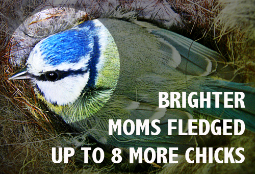 According to a new study from the University of York, Blue Tit mothers with bright blue patches on their head, strongly reflecting  UV light, were better mothers and reared more offspring.