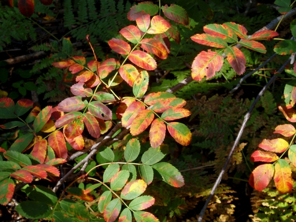 The leaves of Western Mountain Ash are just beginning to turn yellow-red at higher elevations.