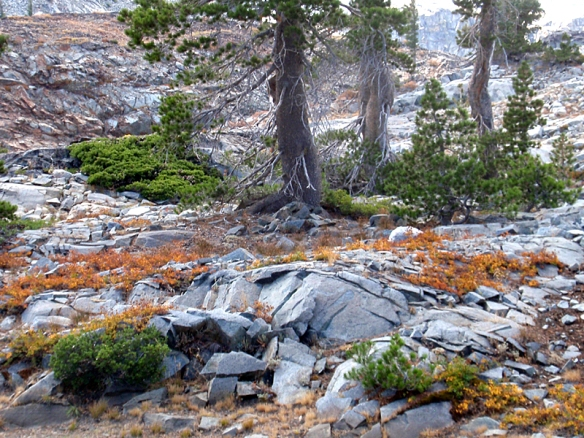 A mat of orange-red Squaw's carpet covers the rock surface, finding just enough soil and water in the rock crevices to survive.