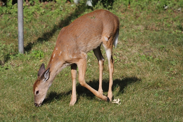 There is still a faint hint of spots on the neck of one fawn, but the fall molt is almost complete in this animal.