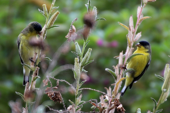 lesser goldfinches, Spinus psaltria