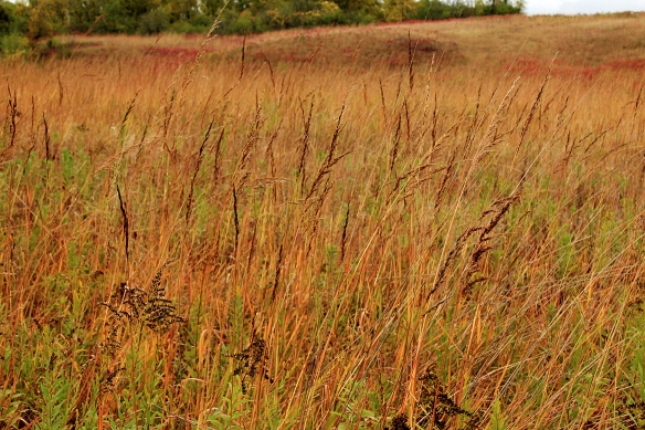 Indian grass was 5 feet tall with long spikes of seed waving in the wind.