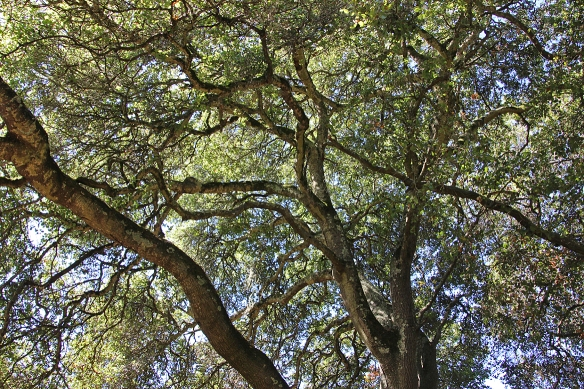 Live oaks seem to defy any organizing principle for growth as their branches spread horizontally in every direction.