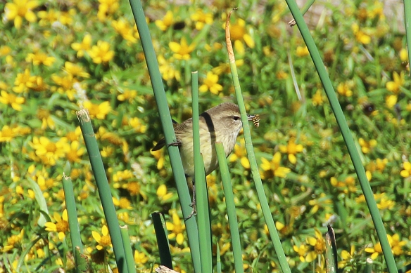 Hidden behind some reeds, this little warbler snacks on its catch.