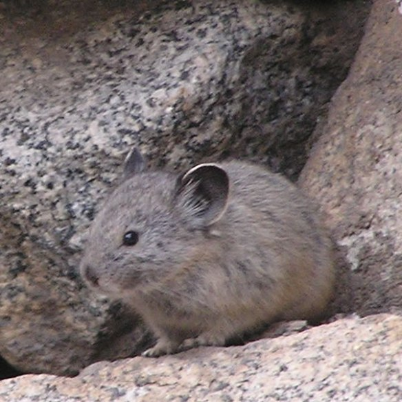 American Pika, Ochotona princeps.  By Justin Johnsen. (Detail of own work posted to Flickr as Pika sentry) [CC-BY-SA-3.0 (http://creativecommons.org/licenses/by-sa/3.0)], via Wikimedia Commons