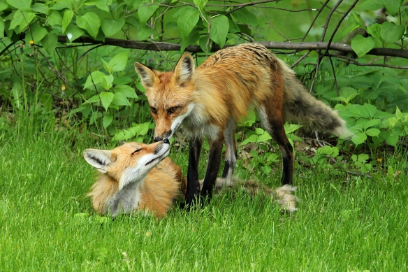 My year-long quest to photograph the red foxes in the backyard was a success.