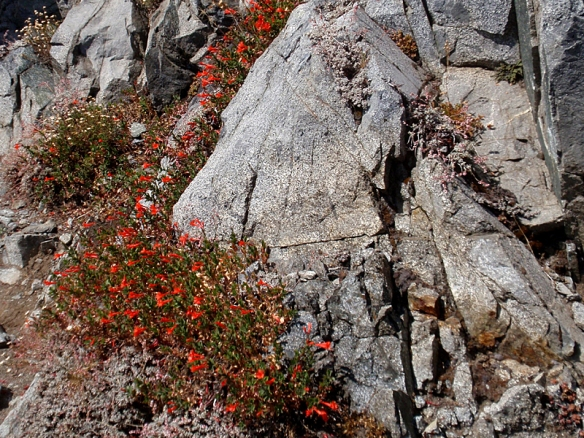 These Scarlet Gilia flowers look made to order for any hummingbirds passing by (but I didn't see any).