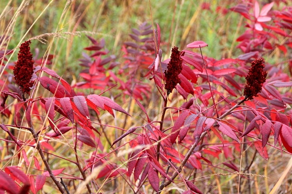 Red leaves combined with the rich, velvety redness of the seed heads of Sumac really lit up the landscape.
