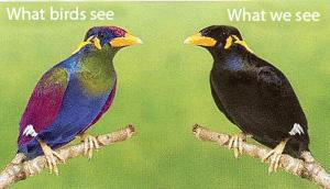 There are striking differences between plumage coloration in UV light detected by birds and that seen by human photoreceptors in the visible part of our color spectrum.