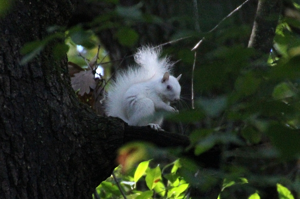 A true albino gray squirrel, complete with red eyes and all white fur.
