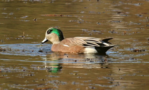 It's called an American Widgeon to distinguish the North American variety from the Eurasian one.