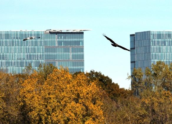 Bald Eagle soaring near Bloomington MN skyline
