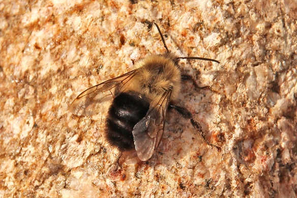 The bee spread its wings to expose its black abdomen and re-oriented itself so the solar radiation was directly overhead.  Note  how it has positioned its rear legs, in parallel, under its abdomen.