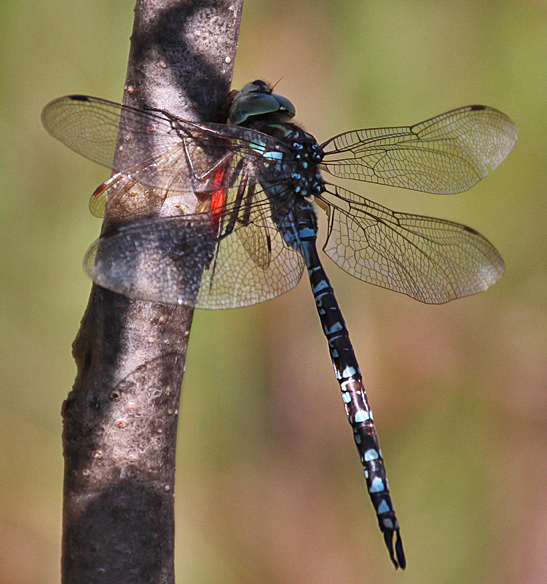 What is that the dragonfly has captured and is eating?