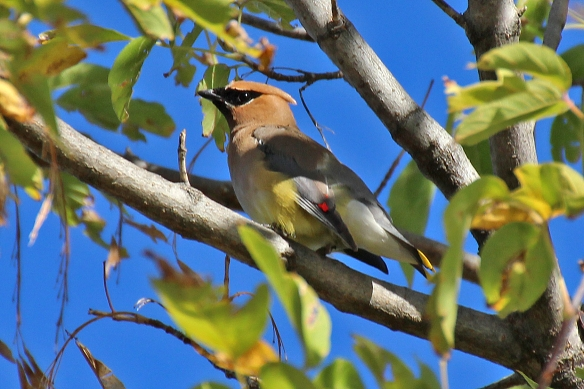 Adult Cedar Waxwing showing off his red and yellow dipped feathers (for which he gets his name?).