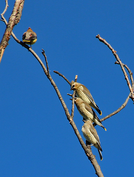 Like all young of the year, the juvenile Cedar Waxwings await instructions from their parent on where to forage.